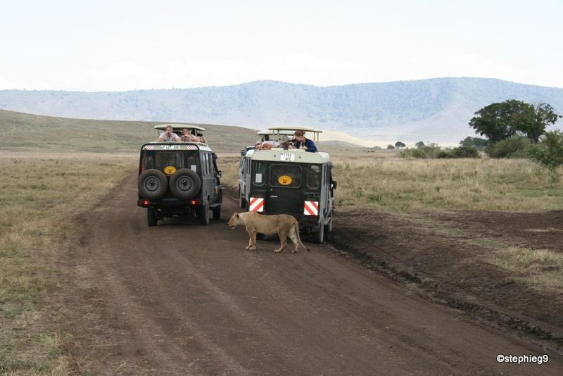 Une lionne aux aguets au Ngorongoro