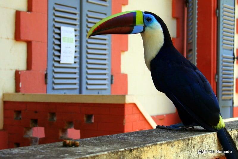 Un toucan peu farouche sur l'île du salut